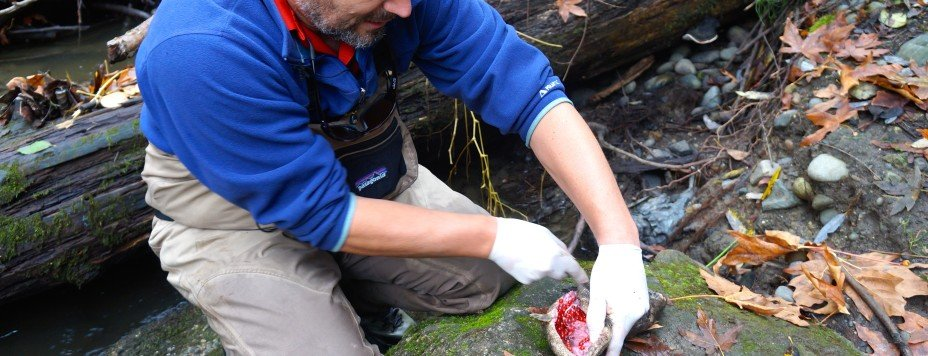 Soundkeeper Chris Wilke cuts open a dead female salmon to see if it has spawned.