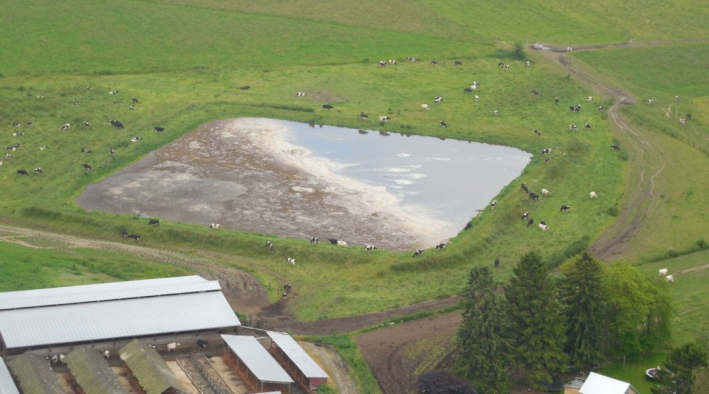 Cows surround a manure lagoon in Skagit County.