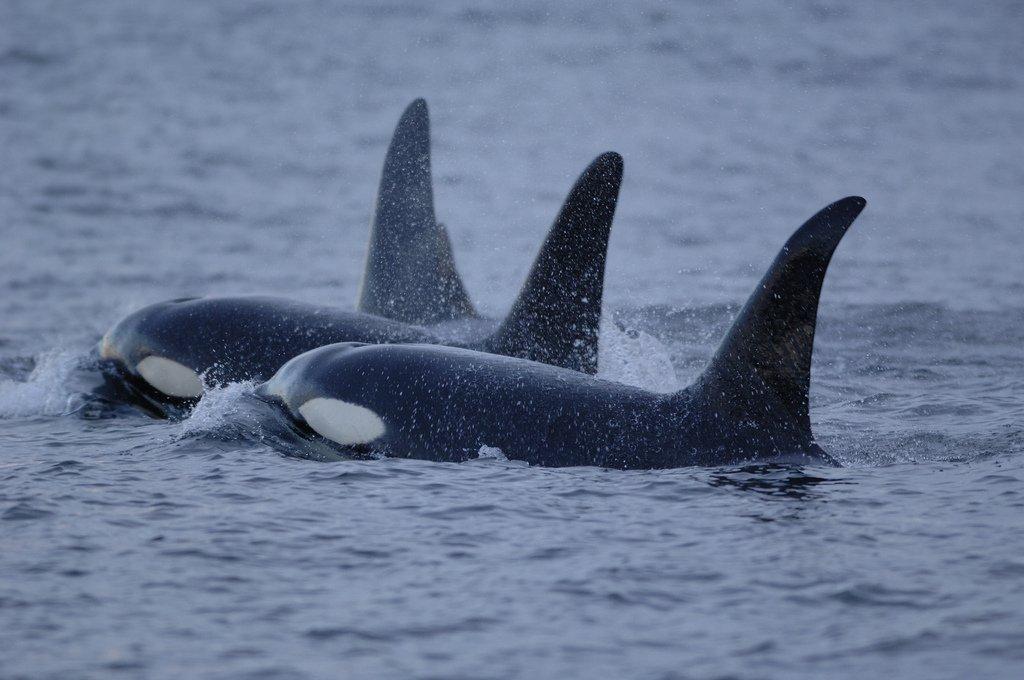 Orca_NOAAcreditDrBrandonSouthallOPT