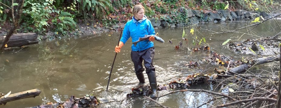A volunteer holds a salmon retrieved from Longfellow Creek.